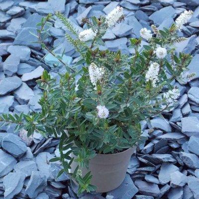 Hebe Champagne - White Flowering Evergreen