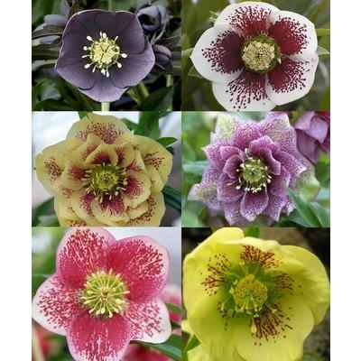Helleborus orientalis Hybrids - Hellebore - Pack of Three Plants in assorted Colours