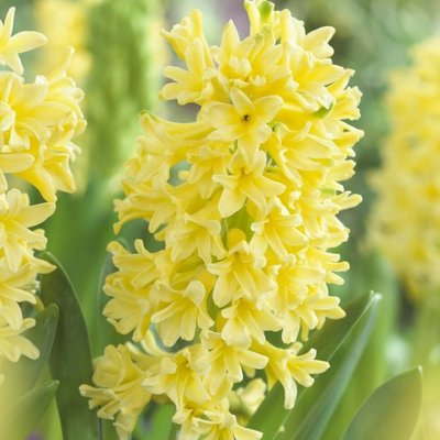 Hyacinth Yellow Queen - Pack of 5 Bulbs