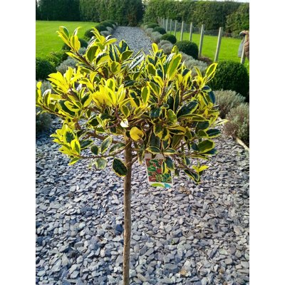 Ilex Golden Van Tol - Female Standard 100cm Holly Tree