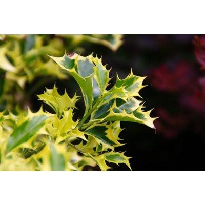 Ilex aquifolium Golden DJ - Female Variegated Holly