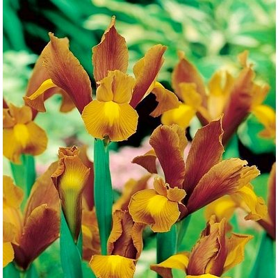 Iris hollandica Bronze Queen - Pack of 12