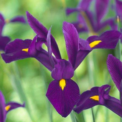 Iris hollandica Purple Sensation - Pack of 12