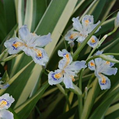 Iris tectorum variegata cruella - Variegated Japanese Roof Iris
