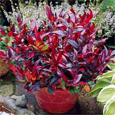 Leucothoe Zeblid - Evergreen Scarletta Plants Switch Ivy