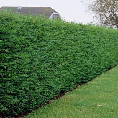 Leylandii - Green Leyland Cypress - Cuprocyparis leylandii - Pack of TEN 3-4ft Hedging Conifers