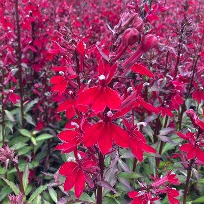 Lobelia speciosa Starship Burgundy Red