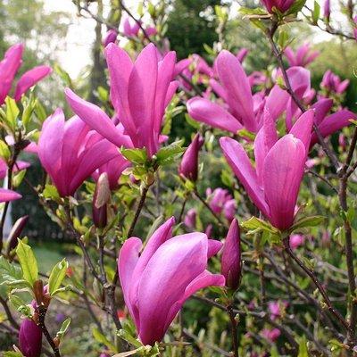 Magnolia Susan - Tulip Tree