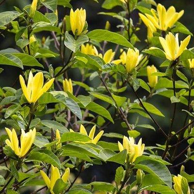 Magnolia Daphne - Sensational Yellow Tulip Tree