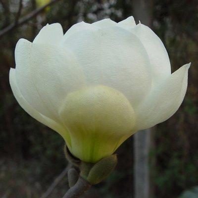 Magnolia denudata Jade Lamp - Tulip Tree
