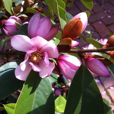 Michelia Magnolia Fairy Blush - New Evergreen Soft Pink Flowering Magnolia