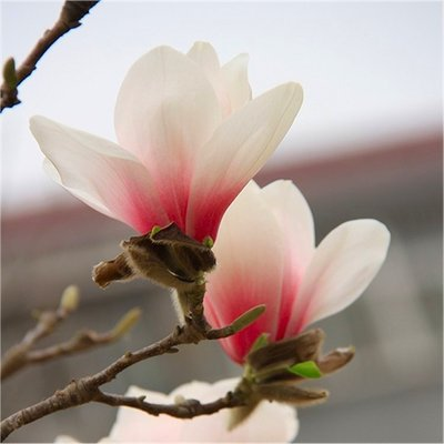 Magnolia New Pink - New Rare Tulip Tree with Soft Pink Blush Flowers