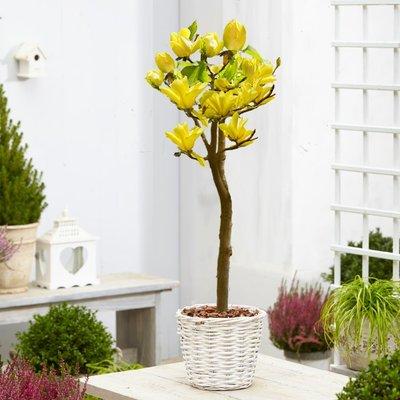 Magnolia Yellow Bird - Tulip Tree STANDARD