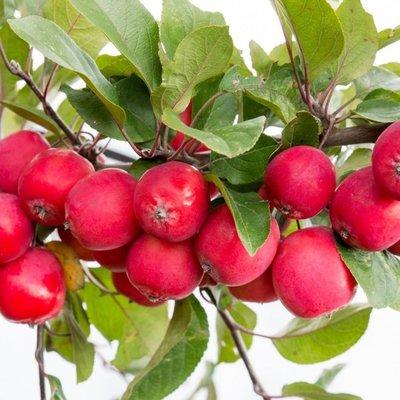 Malus Appletini� - Compact Mini Apple Tree