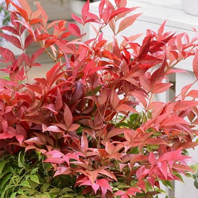 Nandina domestica Obsessed - Heavenly Bamboo Obession