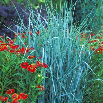 Panicum Prairie Sky - Sky Blue Switch Grass