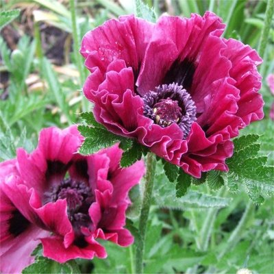 Papaver orientale Harlem - Oriental Poppy