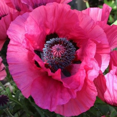 Papaver orientale Raspberry Queen - Pink Oriental Poppy