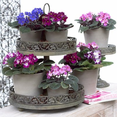 Saintpaulia - African Violet Plants in assorted Colours