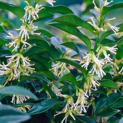 Sarcococca confusa - Pack of THREE Fragrant Plants