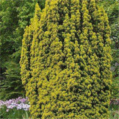 Taxus baccata aurea David - Golden Fastigiate Yew - 120-140cm Specimen Plant