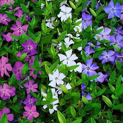 Vinca minor Multi-Colour - Tricolour flowers Evergreen Lesser Periwinkle Plant