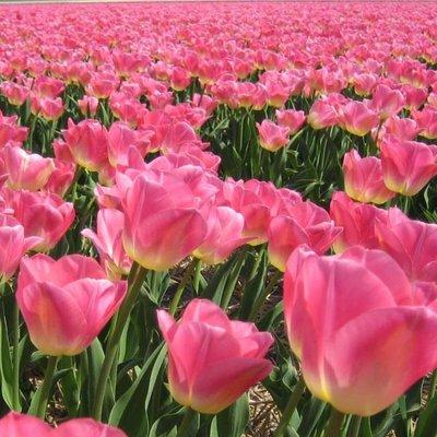 Tulip Dynasty - Pack of 10 Bulbs