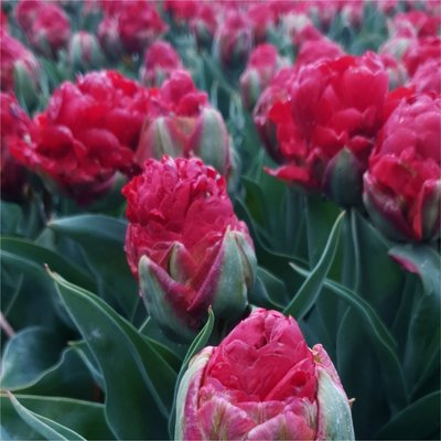Double-Flowered Tulip - Strawberry Ice Cream