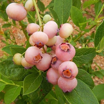 Blueberry Pink Popcorn - Vaccinium corybosum for the Patio or Garden - Yes a Pink Blueberry!