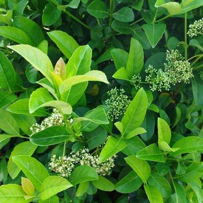 Viburnum Lucidum - Evergreen Odoratissimum Sweet Viburnum - Large Plant