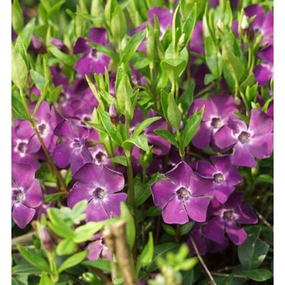 Vinca minor Atropurpurea - PURPLE Flowered Evergreen Ground Covering Lesser Periwinkle Plants