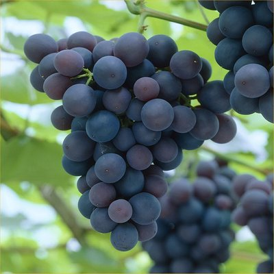 Vitis vinifera Frankenthaler - Black Hamburg Grape Vine - Young Plant
