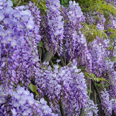 Wisteria sinensis Prolific - Blue - Large Specimen Plant 6ft+