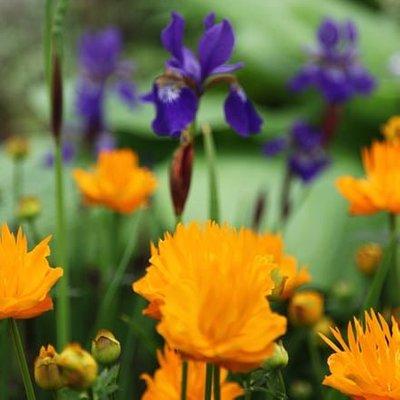 Iris and Trollius plant combination
