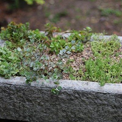 Sedum collection and large alpine trough