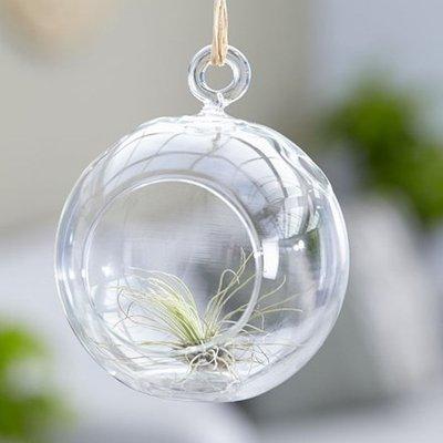 Tillandsia argentea in a hanging glass globe