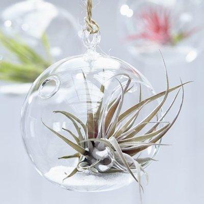 Tillandsia capitata Peach in a hanging glass globe