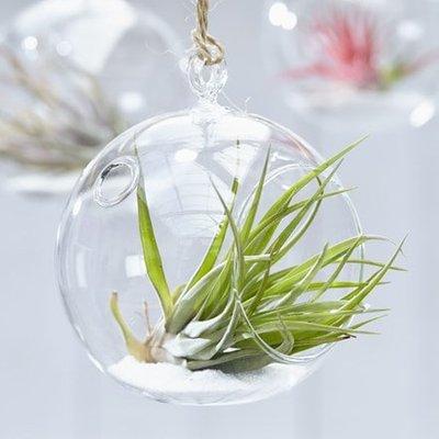 Tillandsia multiflora in a hanging glass globe