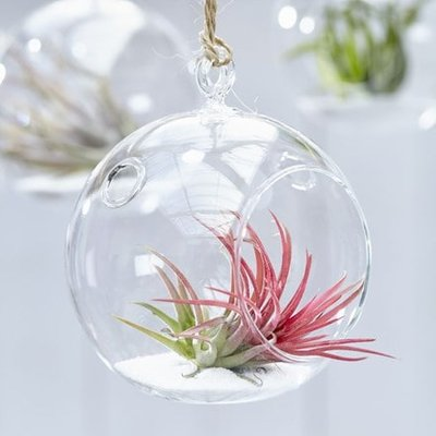 Tillandsia ionantha in a hanging glass globe