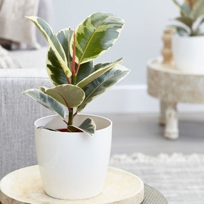Ficus elastica Tineke and pot cover