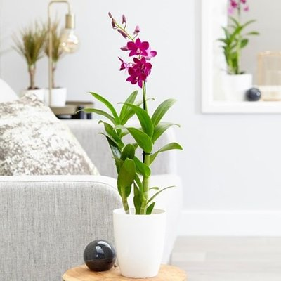 Dendrobium Purple Happiness and pot cover