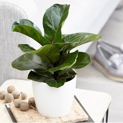 Ficus lyrata Bambino (PBR) and pot cover