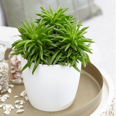 Peperomia Happy Bean and pot cover
