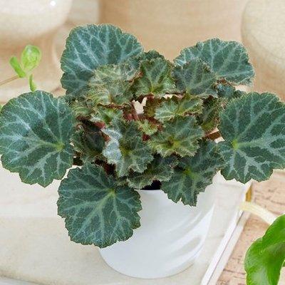 Saxifraga Bottle garden / terrarium plant and pot cover
