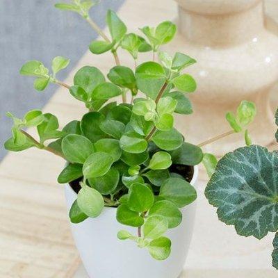 Peperomia Bottle garden / terrarium plant and pot cover