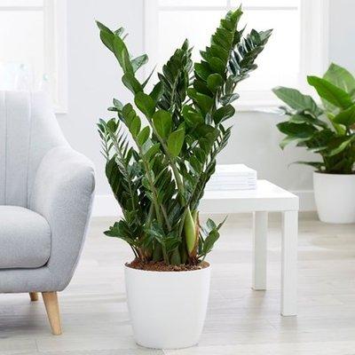 Zamioculcas zamiifolia and pot cover