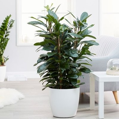 Ficus cyathistipula and pot cover