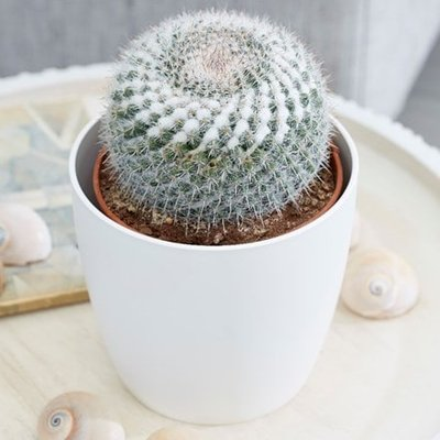 Mammillaria hahniana subs. woodsii and pot cover