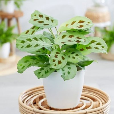 Maranta leuconeura and pot cover