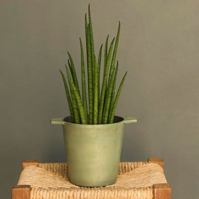 Sansevieria bacularis Mikado and cast aluminium pot cover